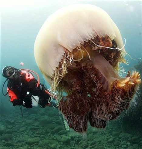 massive-jellyfish_2