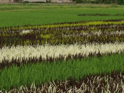 rice_field_art_05