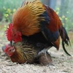 chickensmating